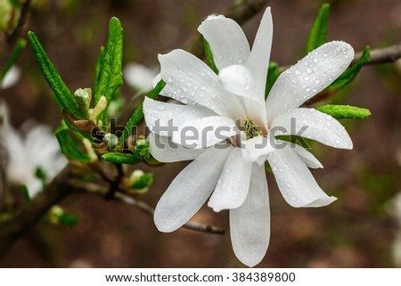 Creamy blossom of Magnolia tree.  Beautiful creamy magnolia flower after the rain. Magnolia flower in Botanic garden. Spring flowers in the Botanical Garden. - stock photo
