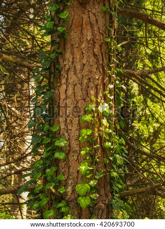 Creeper liana plant with green  leafs wraps around the tree - nature floral pattern - stock photo