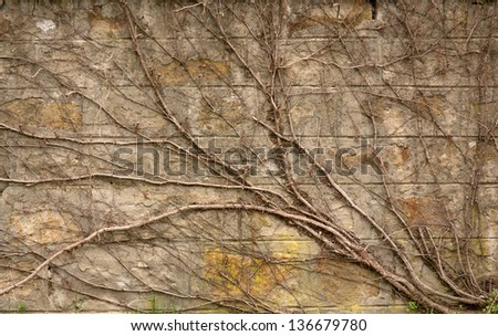 creeper on brick wall - abstract grungy  ancient background - stock photo