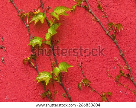 creeper on weathered brick wall / abstract grungy background / wall plant - stock photo