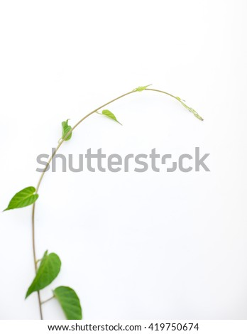 Creeper plant, isolated on white, clipping path - stock photo