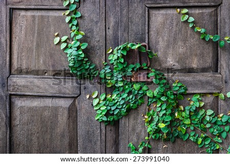 creeper plants on a wooden door background - stock photo