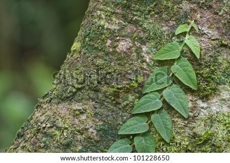 Creeper plants on mossy tree trunk - stock photo