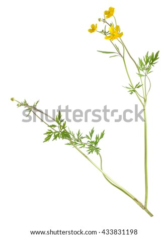 Creeping buttercup, Ranunculus repens isolated on white background