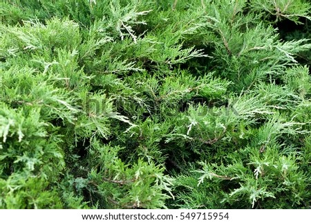 Creeping juniper in the garden background. Green leave texture