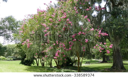 crepemyrtle red crape myrtle tree in new orleans
