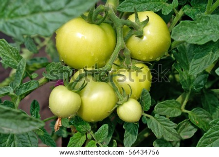 crescent green tomato-vegetable  culture advantageous for health
