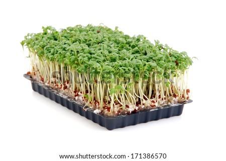 Cress seedlings isolated on white background - stock photo