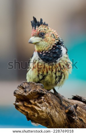 Crested barbe (Trachyphonus vaillantii) ~  South Africa
