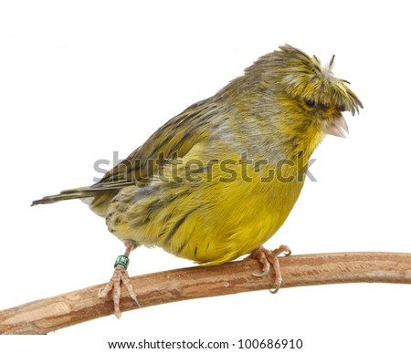 Crested Canary isolated on white - stock photo