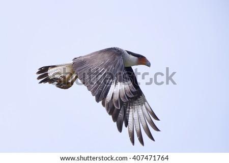 Crested Cara Cara (Mexican Eagle) in Flight at Cameron Prairie - stock photo