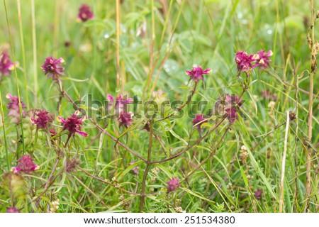 Crested Cow-wheat, Melampyrum cristatum blooming - stock photo