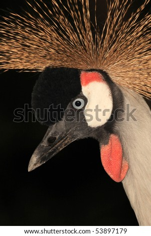 Crested / Crowned Crane - The National Bird of Uganda
