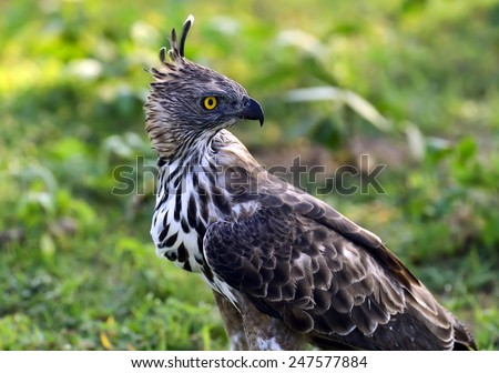 Crested Falcon in the wild on the island of Sri Lanka - stock photo