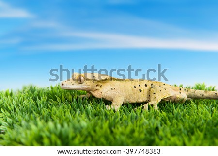 Crested gecko standing on some grass with blue sky