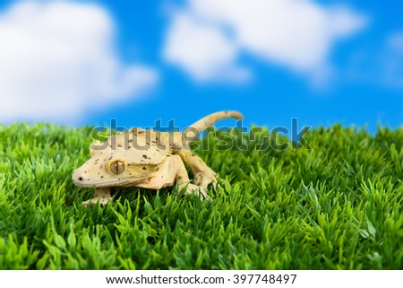 "Crested gecko standing on some grass with blue sky and the saying, ""A journey of a thousand miles begins with a single step"""