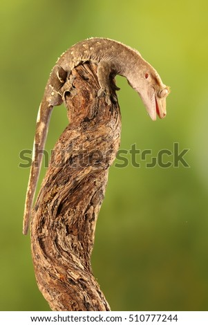 crested gecko - studio photograph