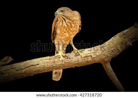 Crested Goshawk (Accipiter trivirgatus)/Beautiful falcon on the back background. - stock photo