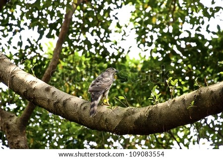 crested goshawk on tree looking for food in spring - stock photo