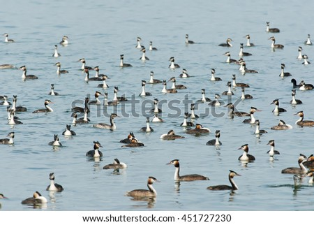 Crested Grebe, Podiceps cristaus, Switzerland, Europe