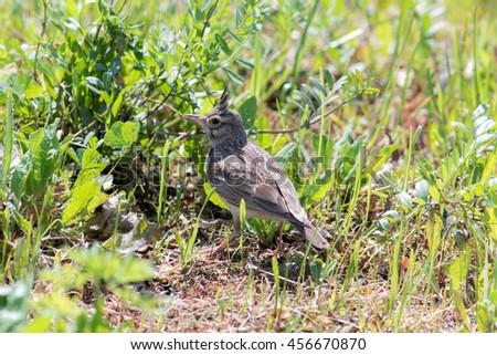 Crested Lark (Galerida cristata). Russia, Sochi (Adler). - stock photo