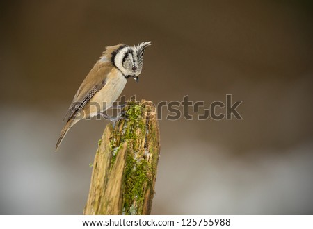 Crested tit in winter looking at his perch - stock photo