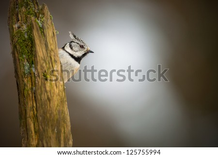 Crested tit in winter looking to the sky - stock photo