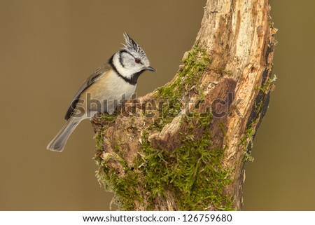 Crested tit, lophophanes cristatus, looking for food on old textured branch - stock photo