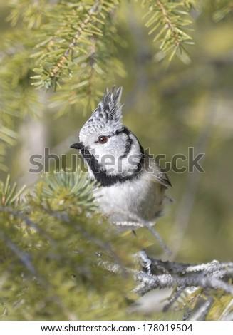 Crested tit (Lophophanes cristatus, Parus cristatus) - stock photo
