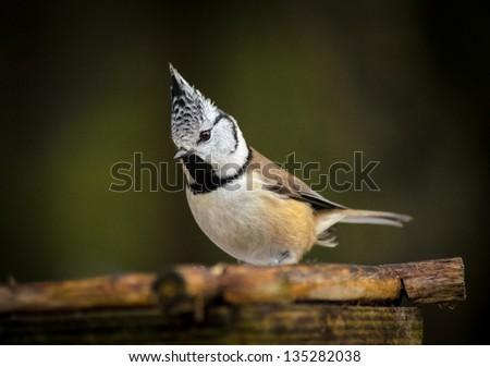 crested tit (Lophophanes cristatus, Parus cristatus) on birdfeeder - stock photo