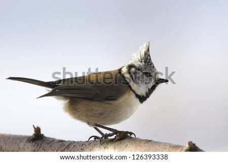 Crested tit  on a branch - stock photo