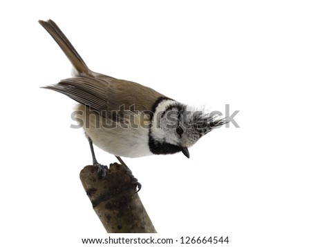 Crested tit on a branch, isolated - stock photo