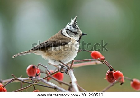 Crested tit on rosa canina branch - stock photo