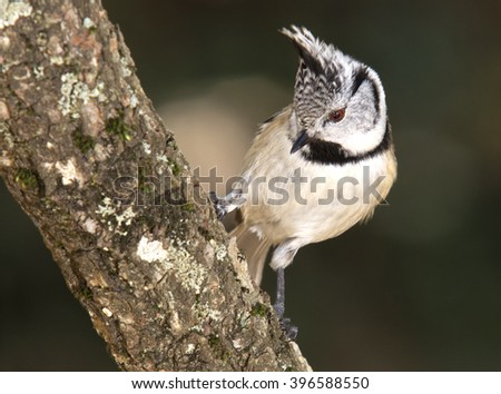 Crested tit (Parus cristatus) on a branch - stock photo