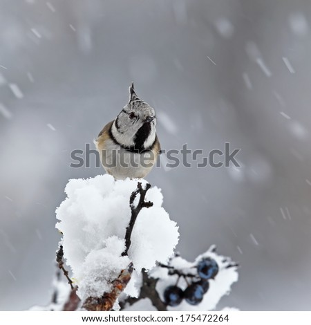 Crested tit (Parus cristatus) ) on a snowy blackthorn branch in snowfall - stock photo
