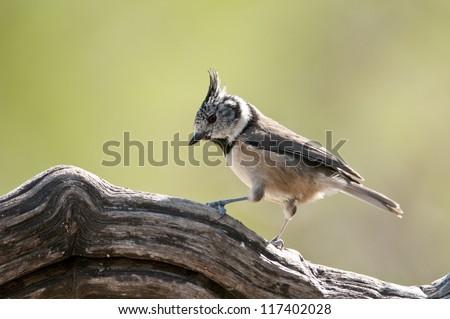 Crested Tit (Parus cristatus), Spain - stock photo