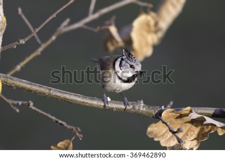 Crested tit passerine bird perched on tree branch