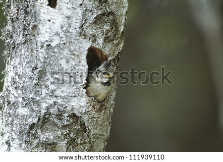 Crested tit perching inside hole of bark - stock photo