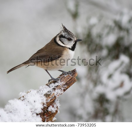 Crested Tit perching on a snow covered branch