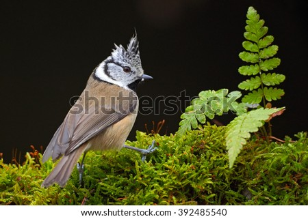 Crested Tit, sitting songbird on beautiful green lichen branch and fern with clear dark green background, bird with crest, animal in the forest nature habitat, Czech Republic - stock photo