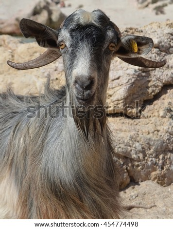 Cretan Mountain Goat by the beach