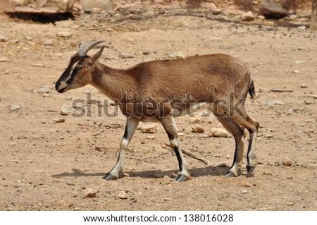 Cretan wild mountain goat with curved horns in natural environment. Kri-kri on barren land. - stock photo