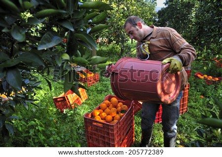Crete, Greece, February. 1. 2008: Farmers harvesting orange harvesting in the spring valley, Islands of Crete, Greece