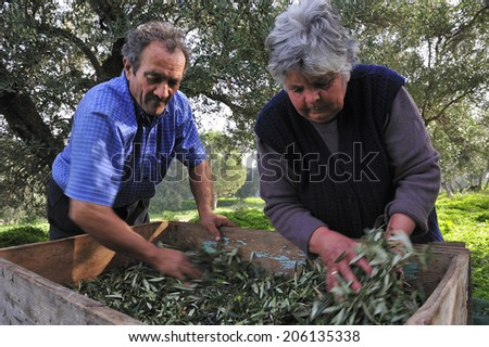 Crete, Greece, - January. 27. 2009: Farmers harvesting olives by hands in the small valley in the island of Crete, Greece