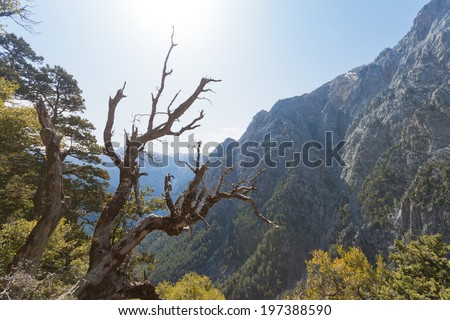 Crete - Greece - Old tree of the Samaria Gorge - stock photo