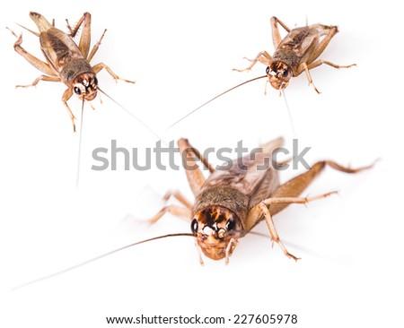Cricket beetle (gryllus assimilis) isolated on white background.  - stock photo