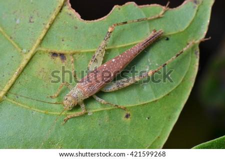 Cricket on leaf  - stock photo