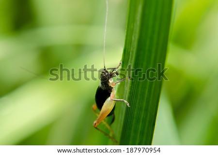 Cricket on macro - stock photo