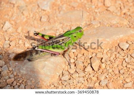 cricket sand desert - stock photo