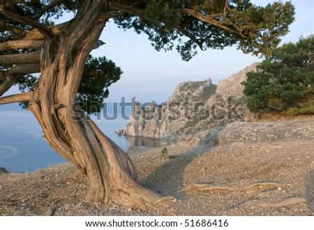 Crimea pine tree on mountain over sea coast - stock photo